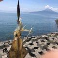 イカカワイイデスさんの鹿児島県姶良市での釣果写真