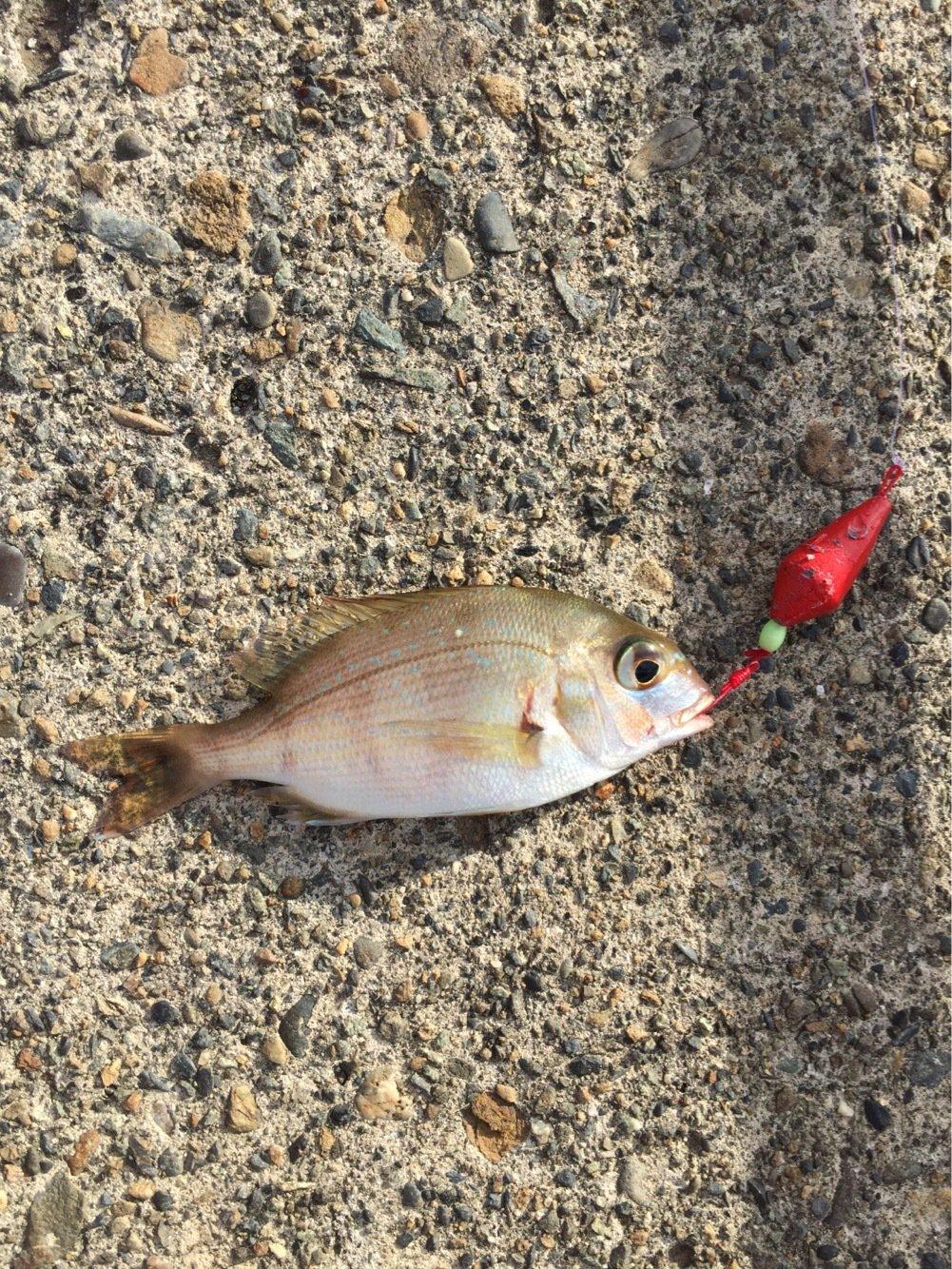 たこたかさんの投稿画像,写っている魚はマダイ