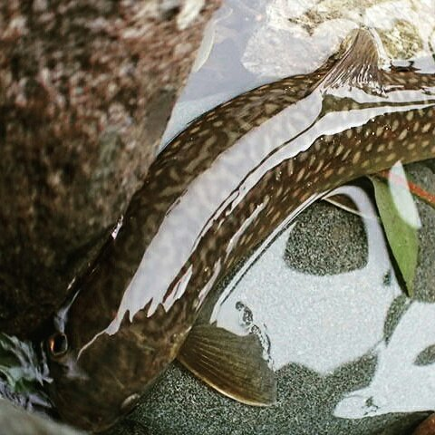 のぶさんの投稿画像,写っている魚はイワナ