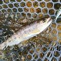 Yk Mthsさんの岩手県九戸郡での釣果写真
