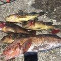 ゆういちさんの北海道でのアイナメの釣果写真