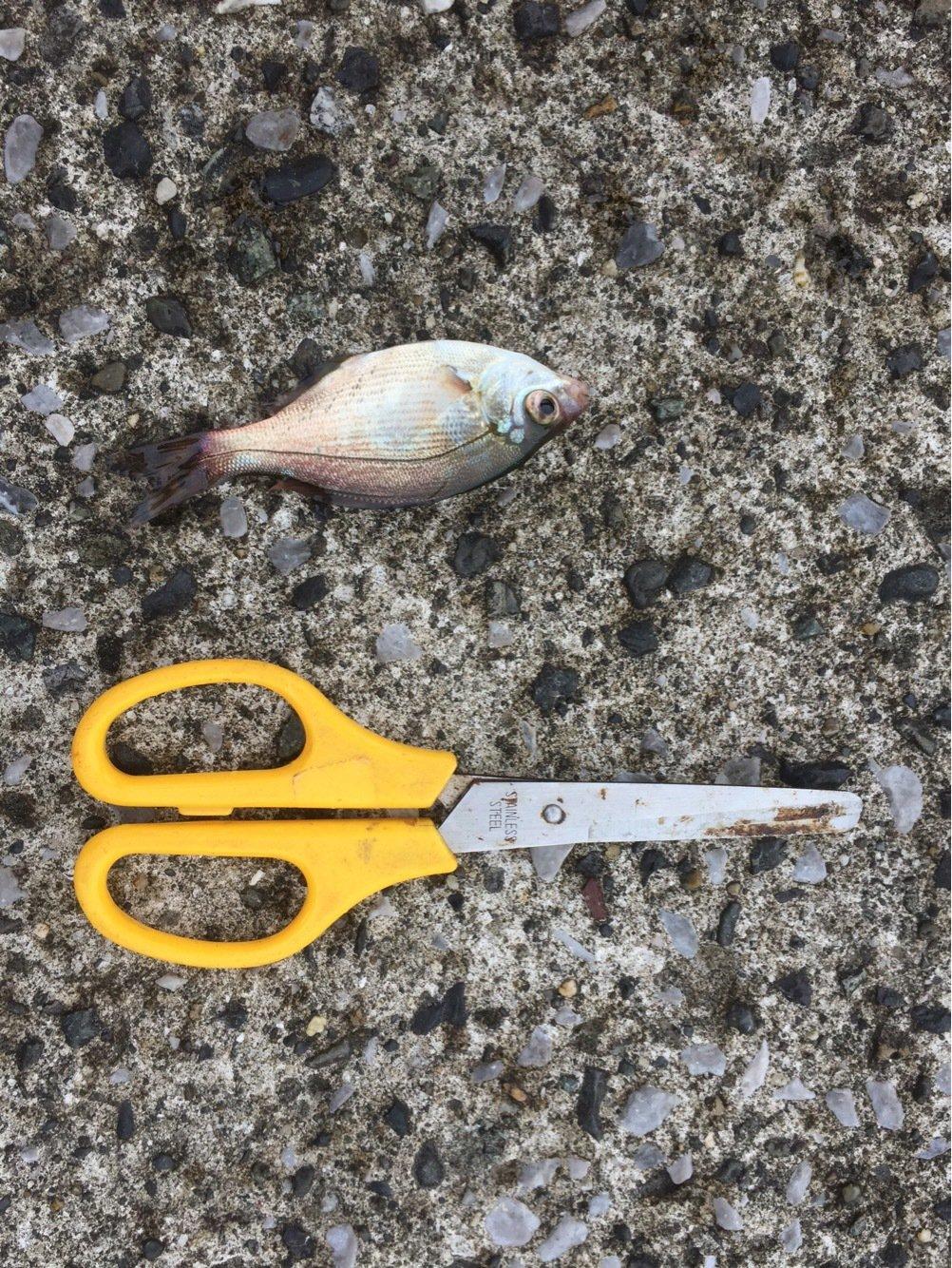 ジョーさんの投稿画像,写っている魚はウミタナゴ