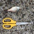 ジョーさんの千葉県でのウミタナゴの釣果写真