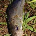 マンボウさんの千葉県流山市でのスズキの釣果写真