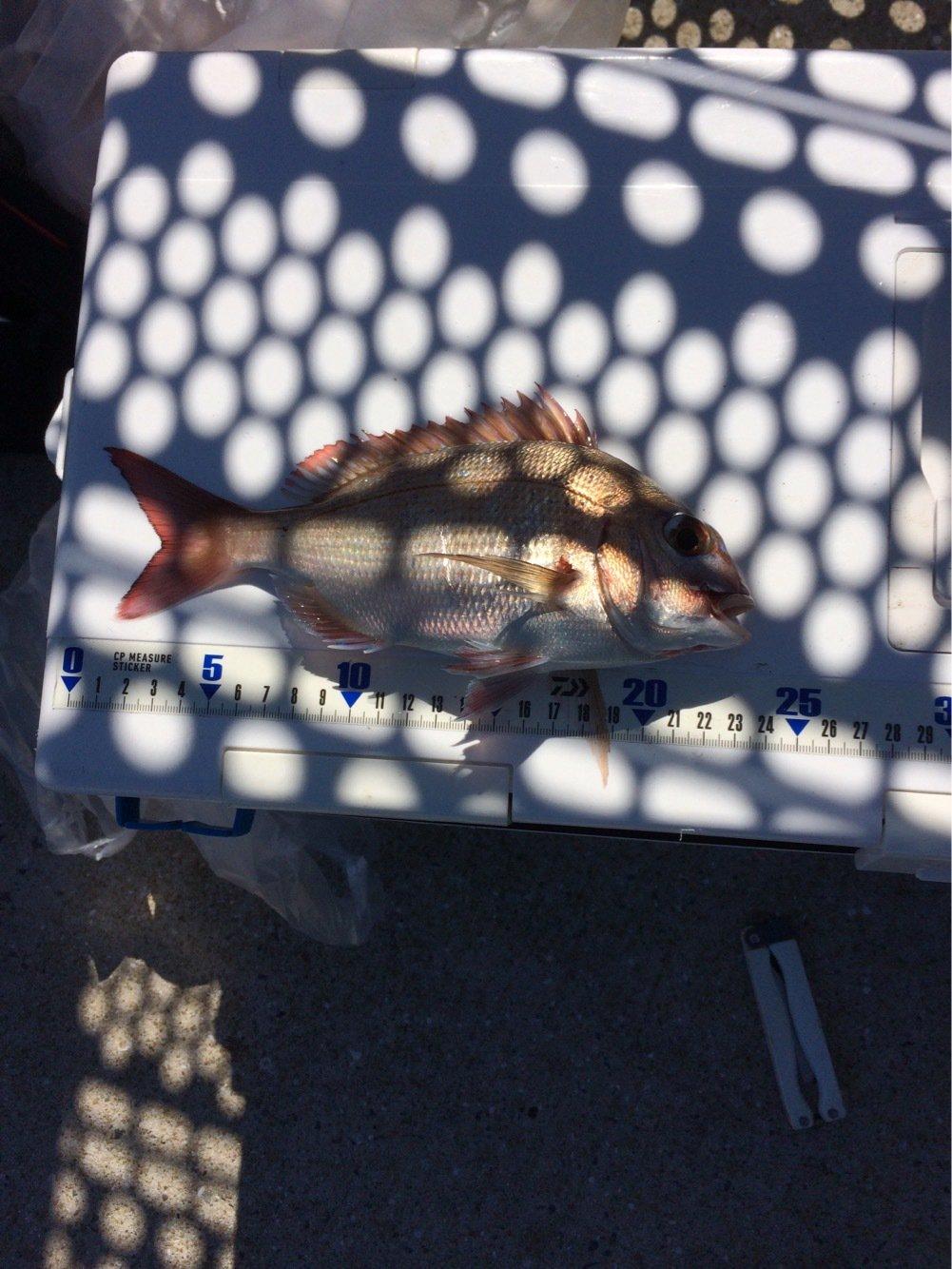 MOKOさんの投稿画像,写っている魚はマダイ