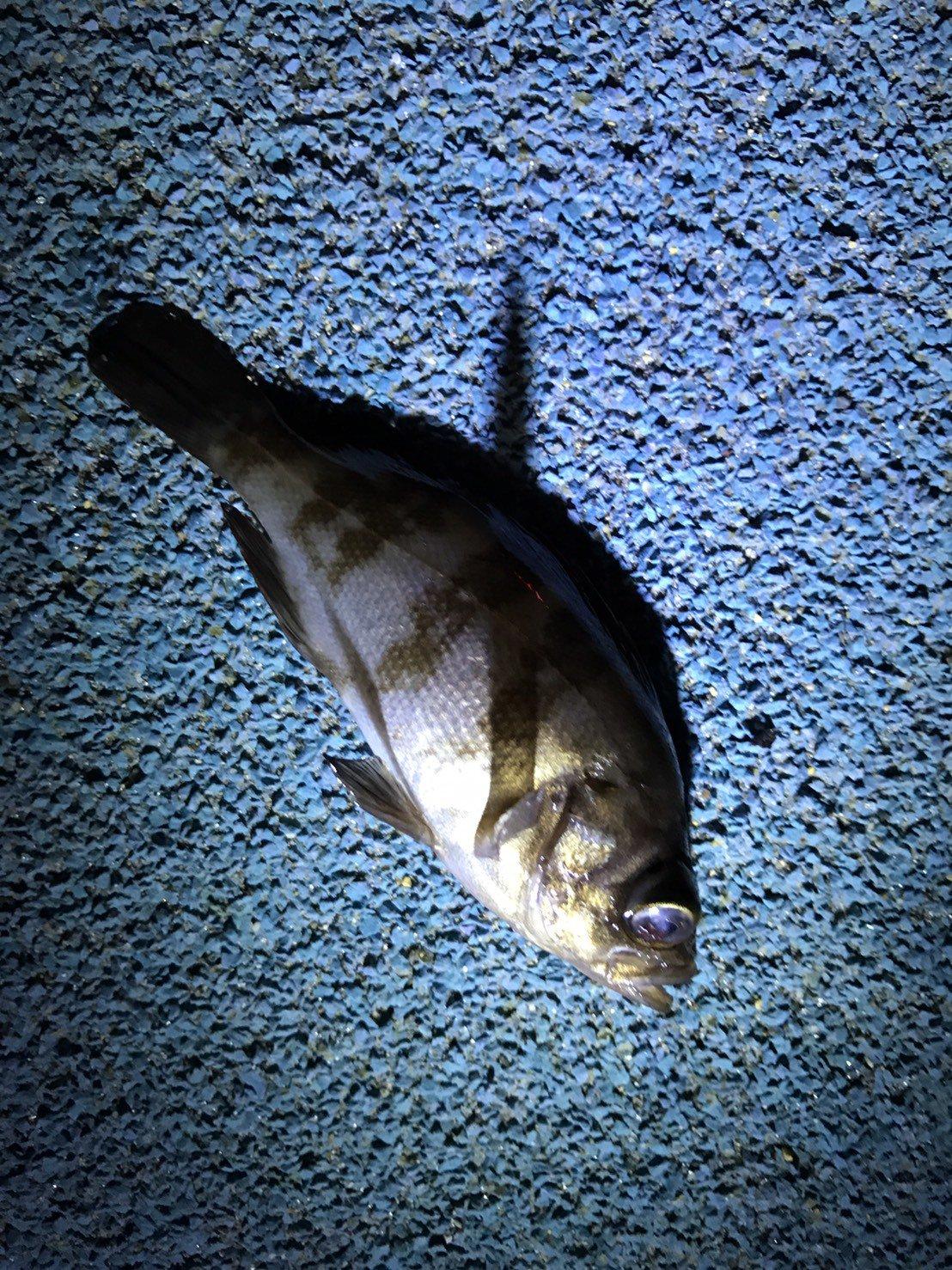 shinichi0054さんの投稿画像,写っている魚はクロメバル