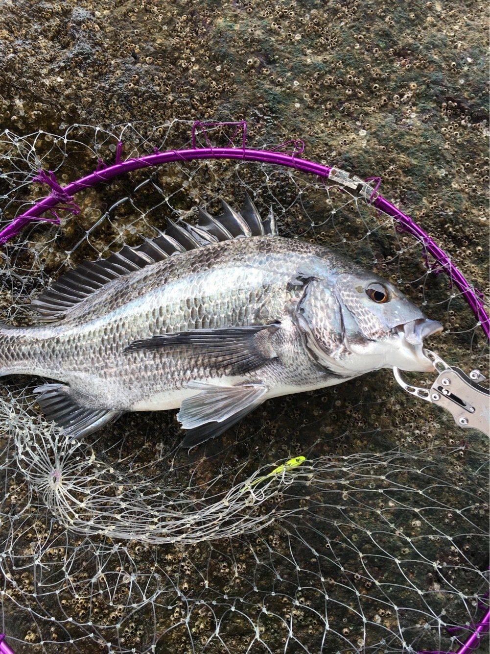 KAMIUさんの投稿画像,写っている魚はクロダイ