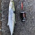 竜也さんの大阪府泉北郡での釣果写真