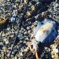 あららきんぐさんの鹿児島県出水市での釣果写真