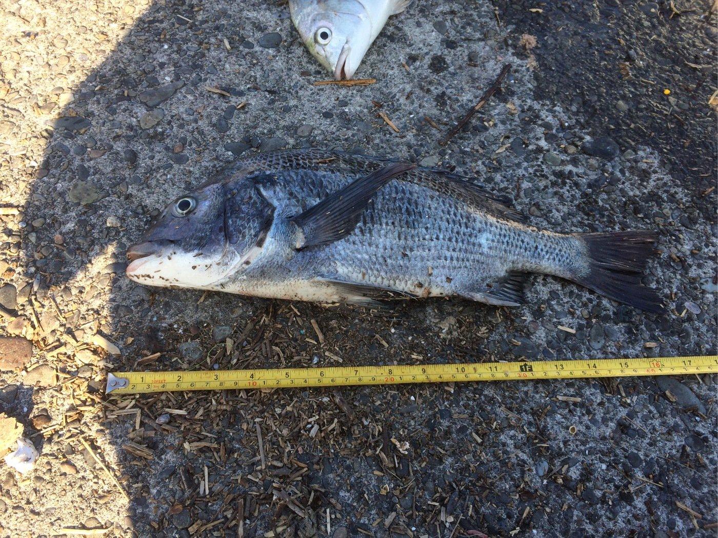 ダイナマイト四国さんの投稿画像,写っている魚はクロダイ