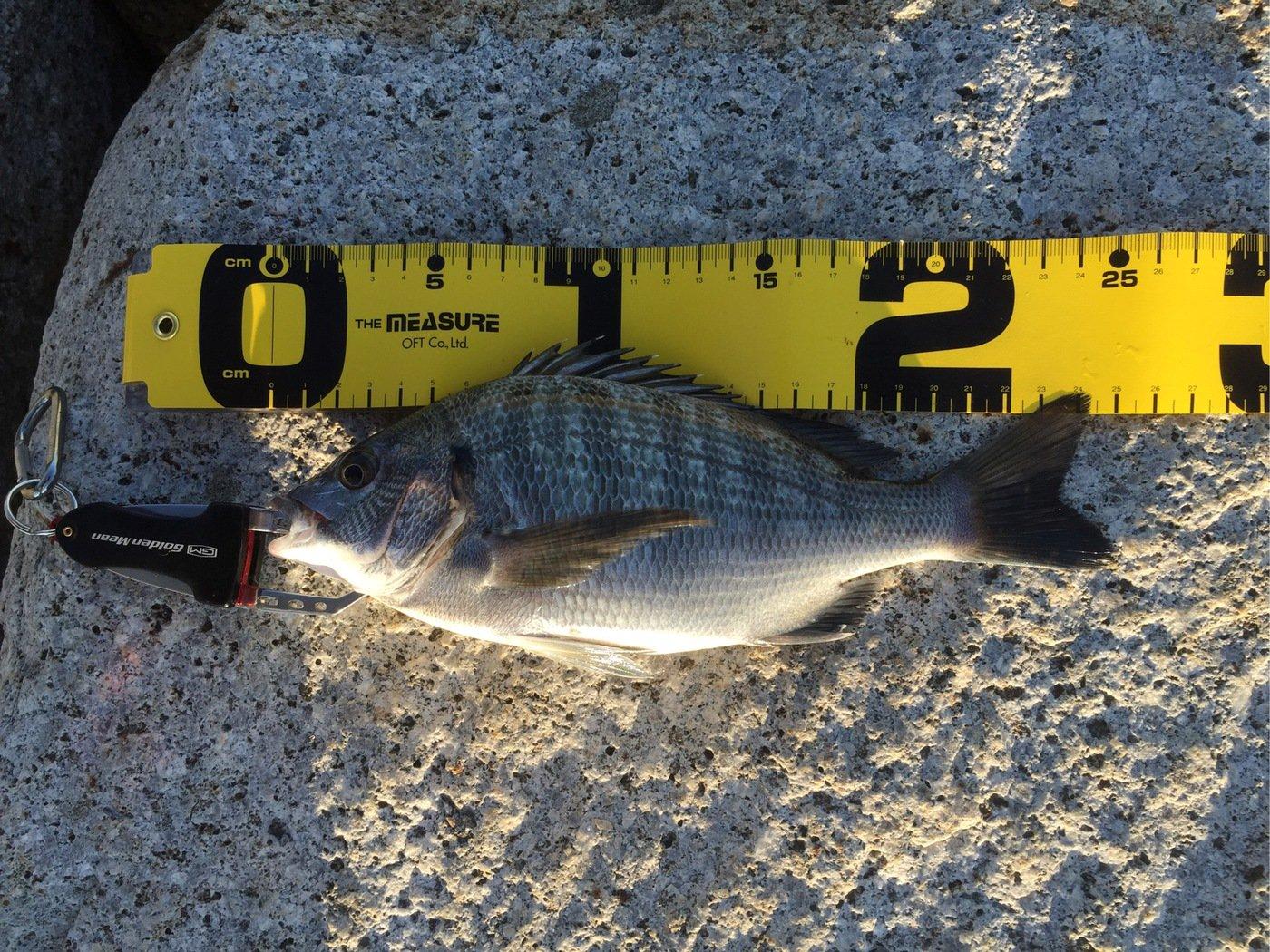 SHOーKUNさんの投稿画像,写っている魚はクロダイ