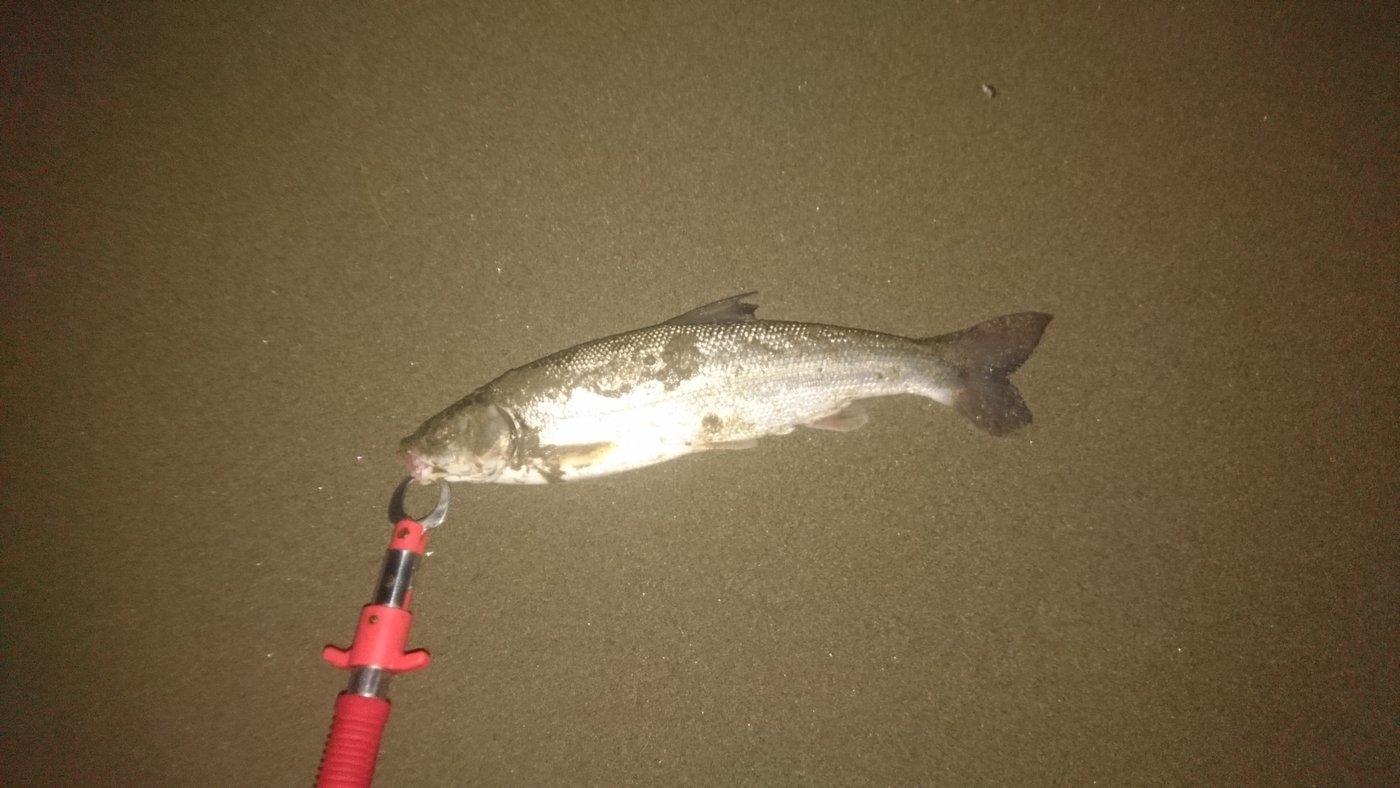 oitanさんの投稿画像,写っている魚はウグイ