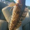 カチュアさんの北海道でのアイナメの釣果写真