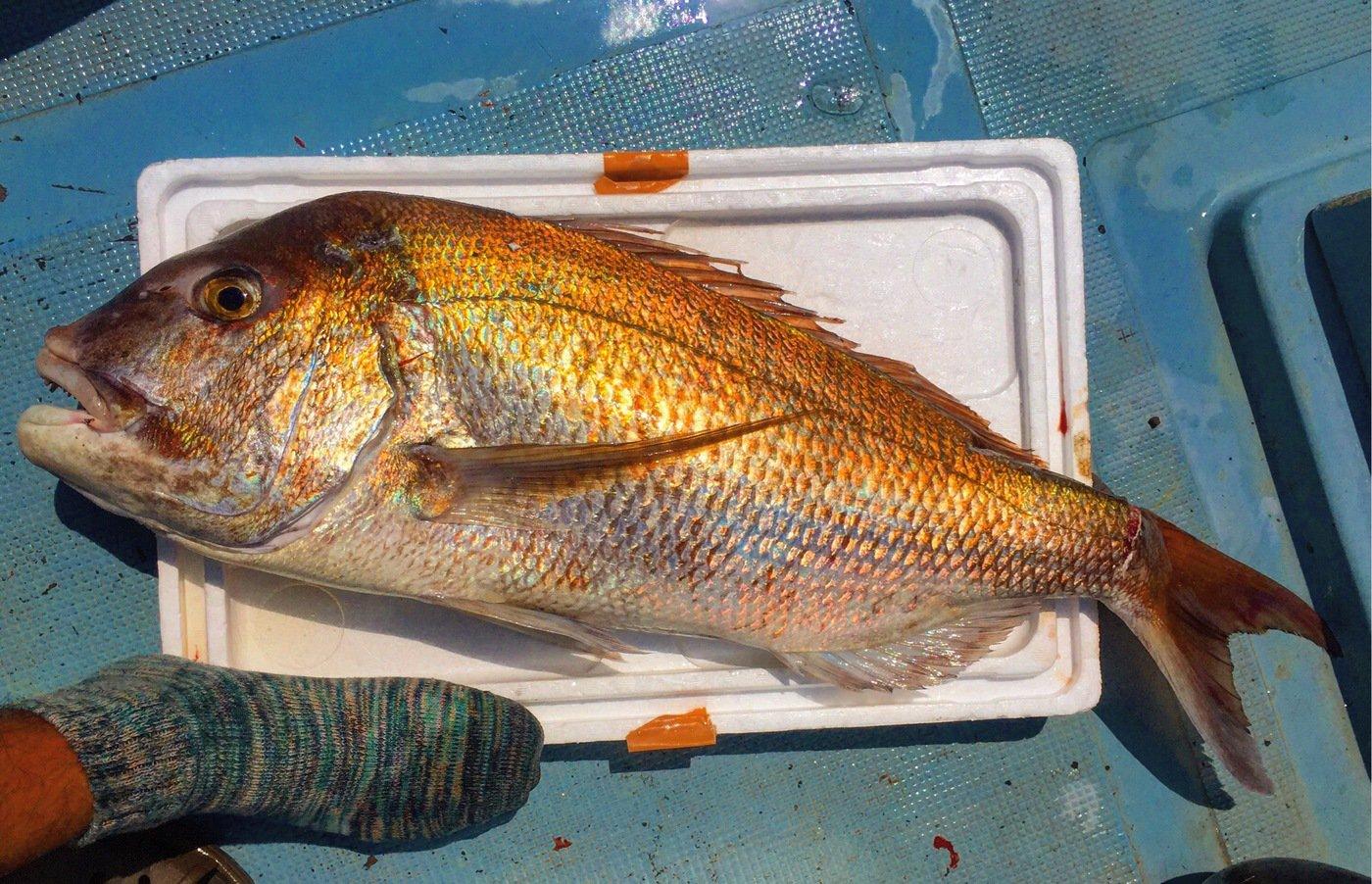 オコピチュさんの投稿画像,写っている魚はマダイ
