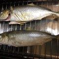 🌞変態糞釣師🌝さんのブリの釣果写真