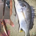 テラざわすさんの徳島県徳島市でのエソの釣果写真
