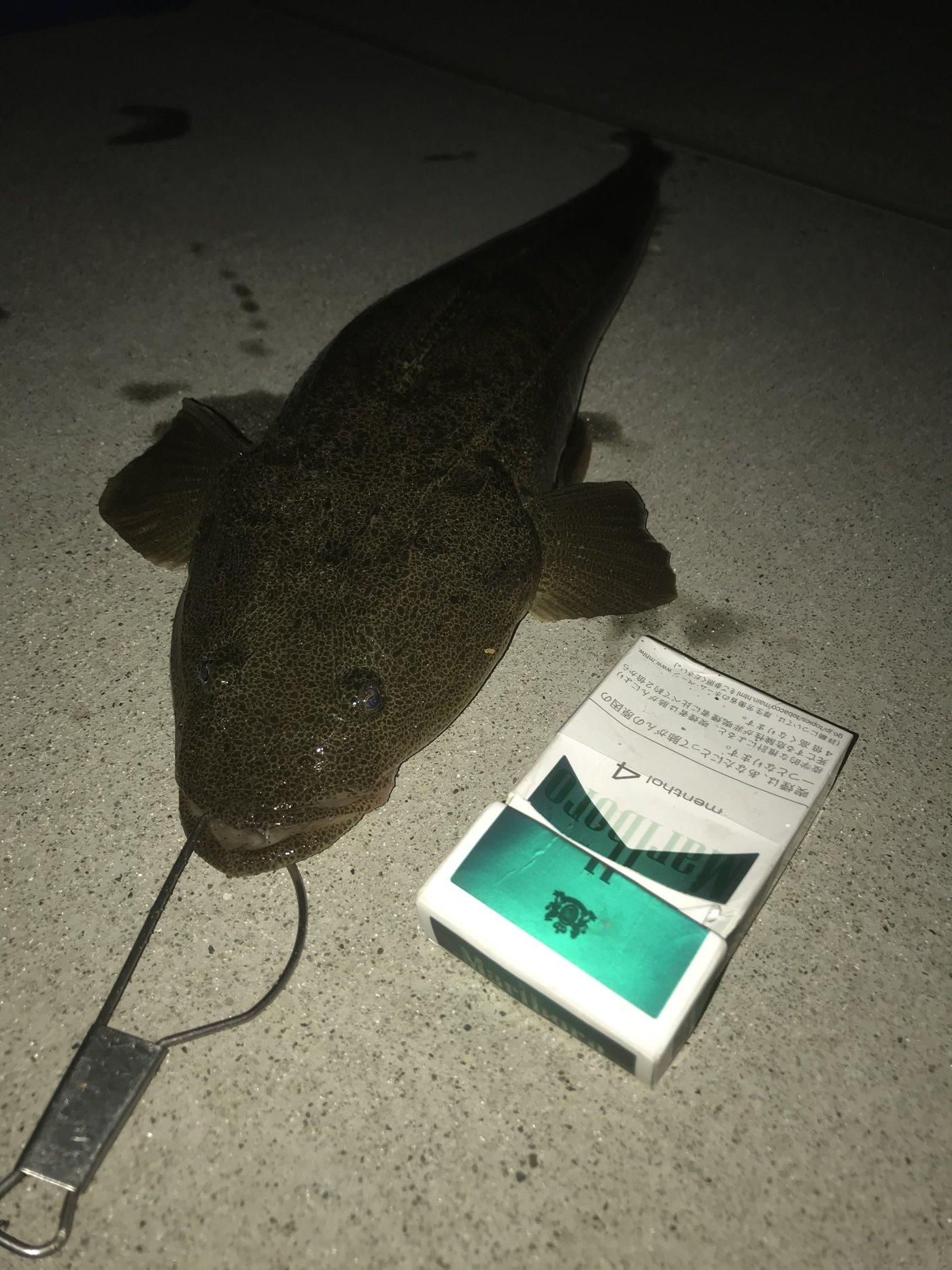 Kouheiさんの投稿画像,写っている魚はコチ,