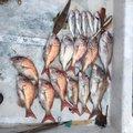 びるそんさんの広島県呉市での釣果写真