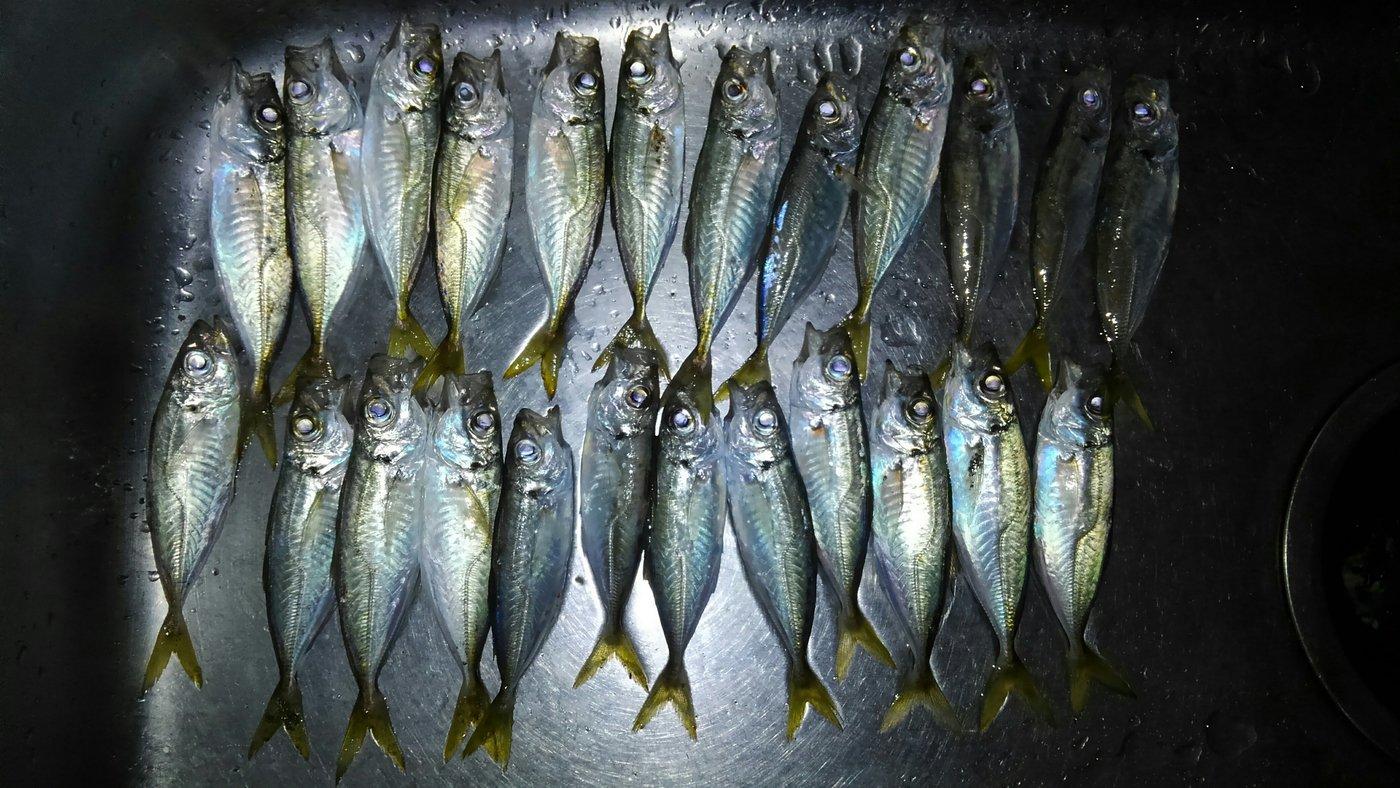 平野 健太さんの投稿画像,写っている魚はアジ