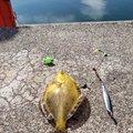 ゆこひろさんの北海道伊達市での釣果写真