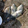 チュンチュン丸さんの千葉県安房郡での釣果写真