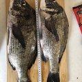 辰五郎さんの大阪府泉北郡での釣果写真