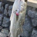 かず坊さんの福岡県大野城市での釣果写真