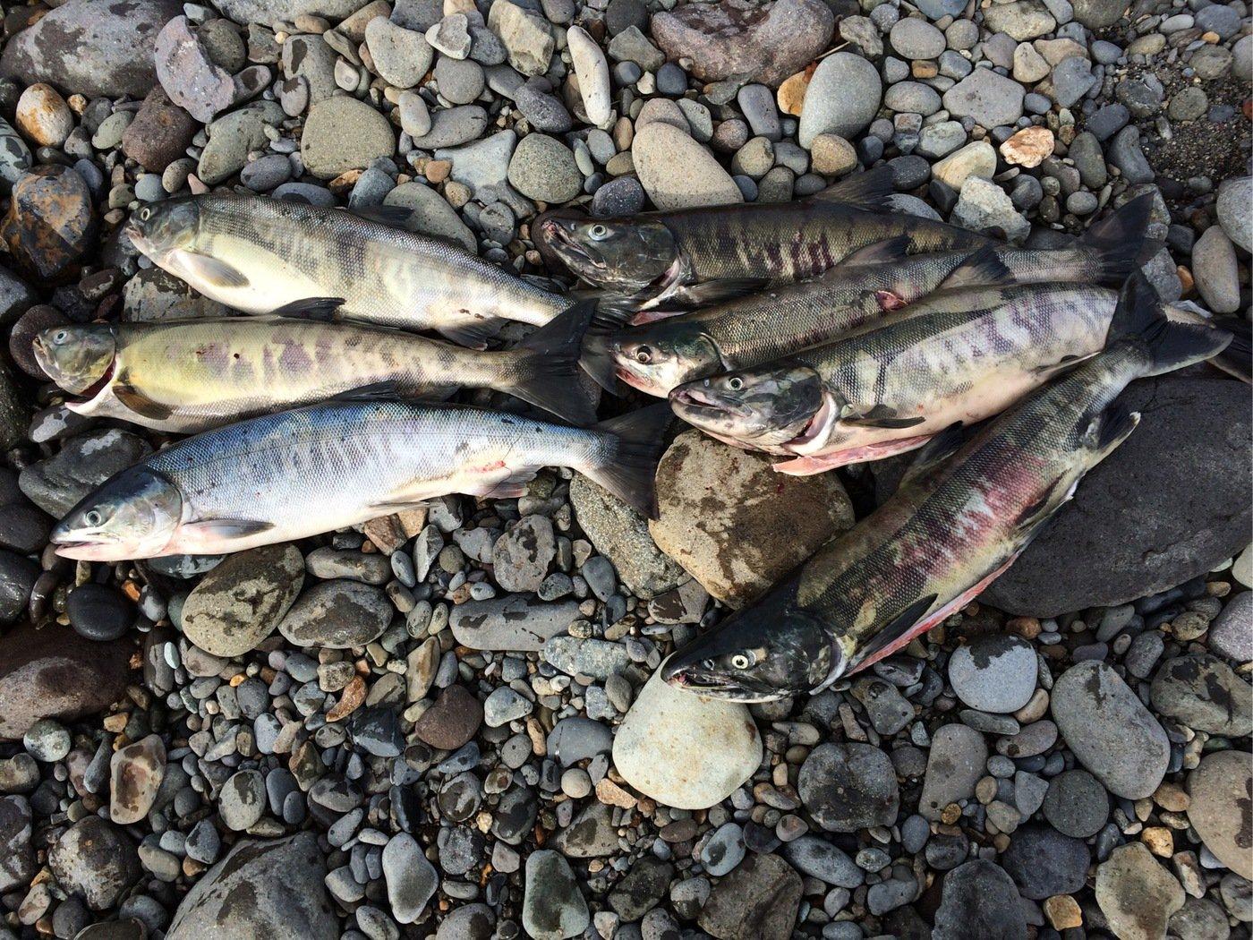 トリトンさんの投稿画像,写っている魚はサケ