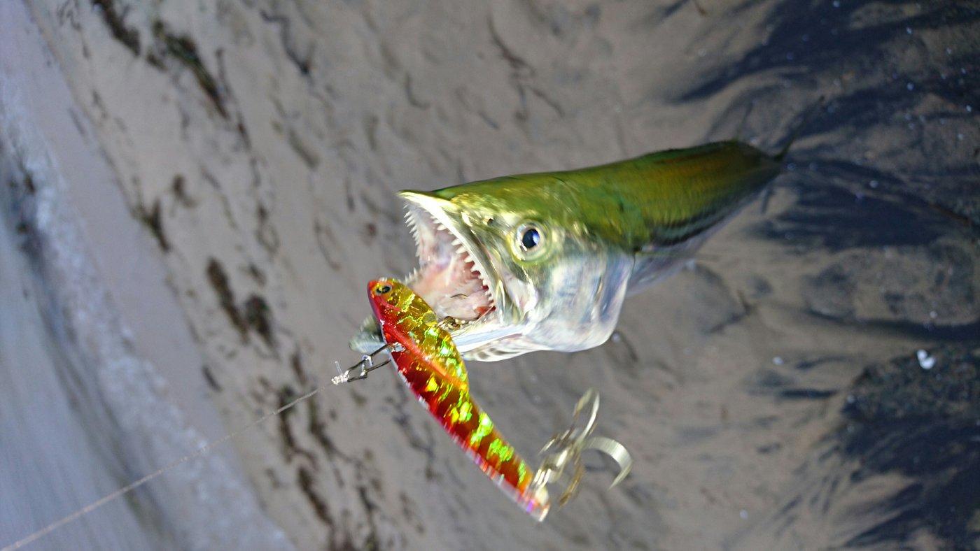 そると小僧さんの投稿画像,写っている魚はサワラ