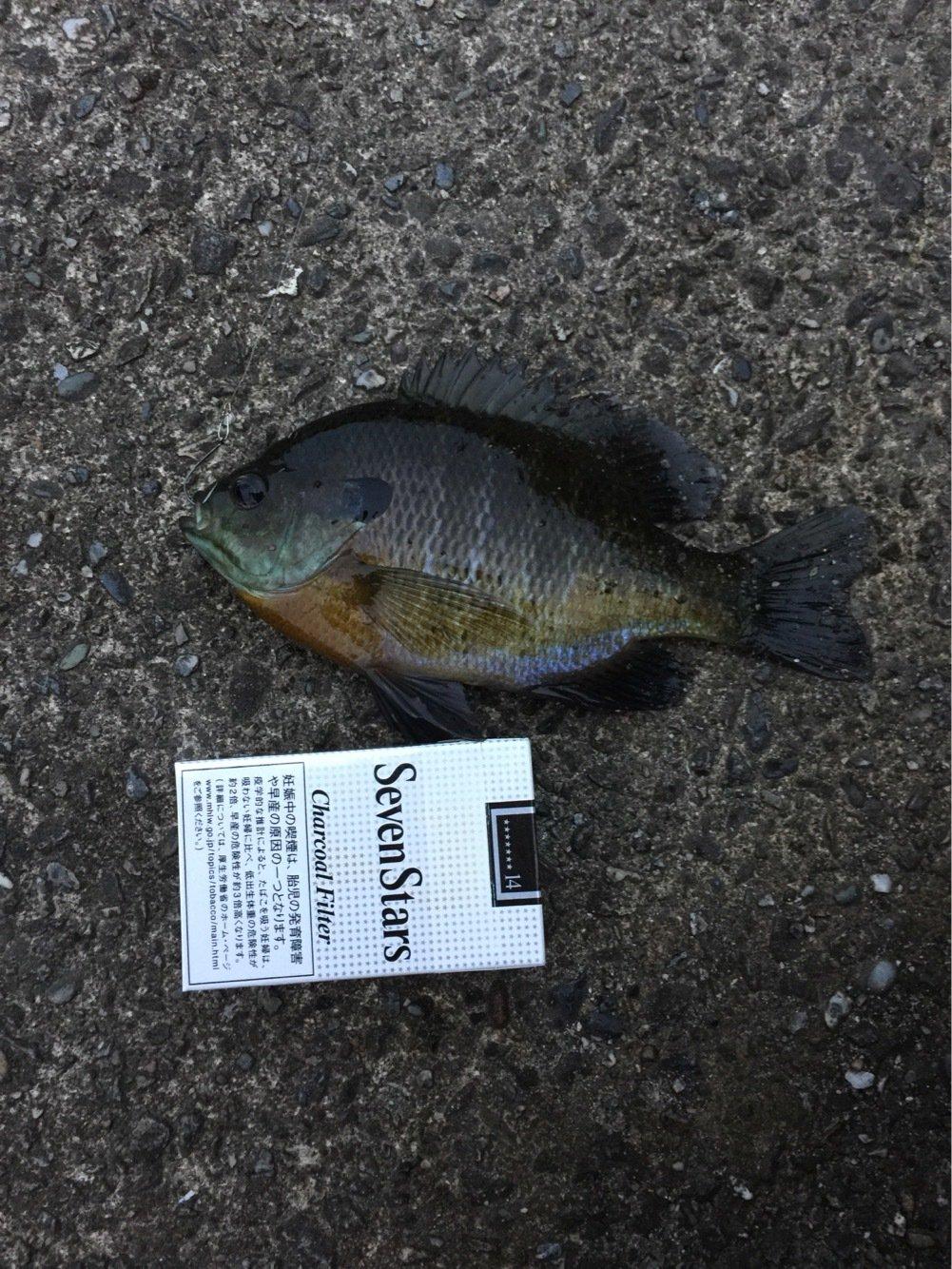 Leaderさんの投稿画像,写っている魚はブルーギル