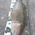 カチュアさんの北海道利尻郡での釣果写真