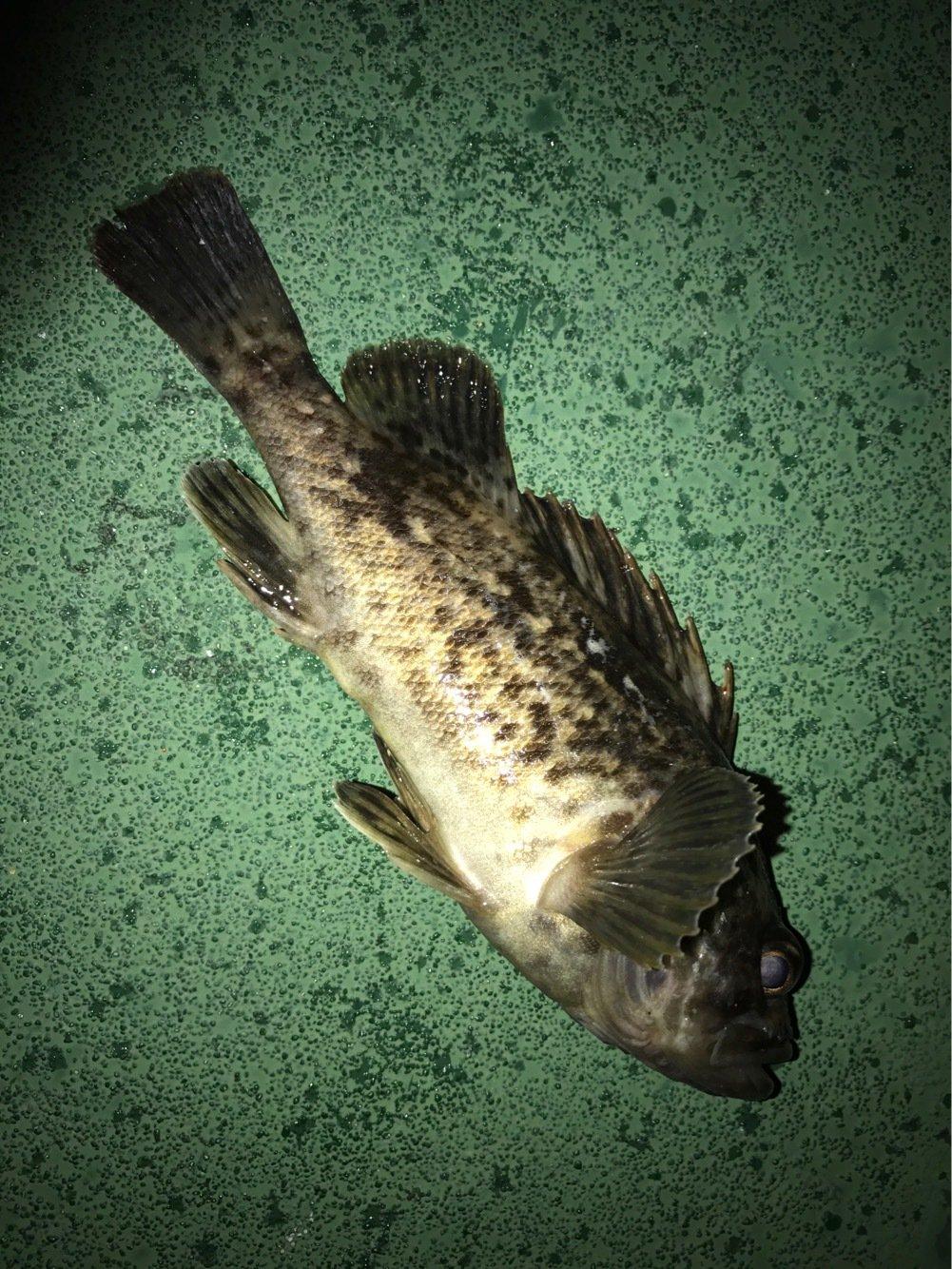 初心者keiさんの投稿画像,写っている魚はクロソイ