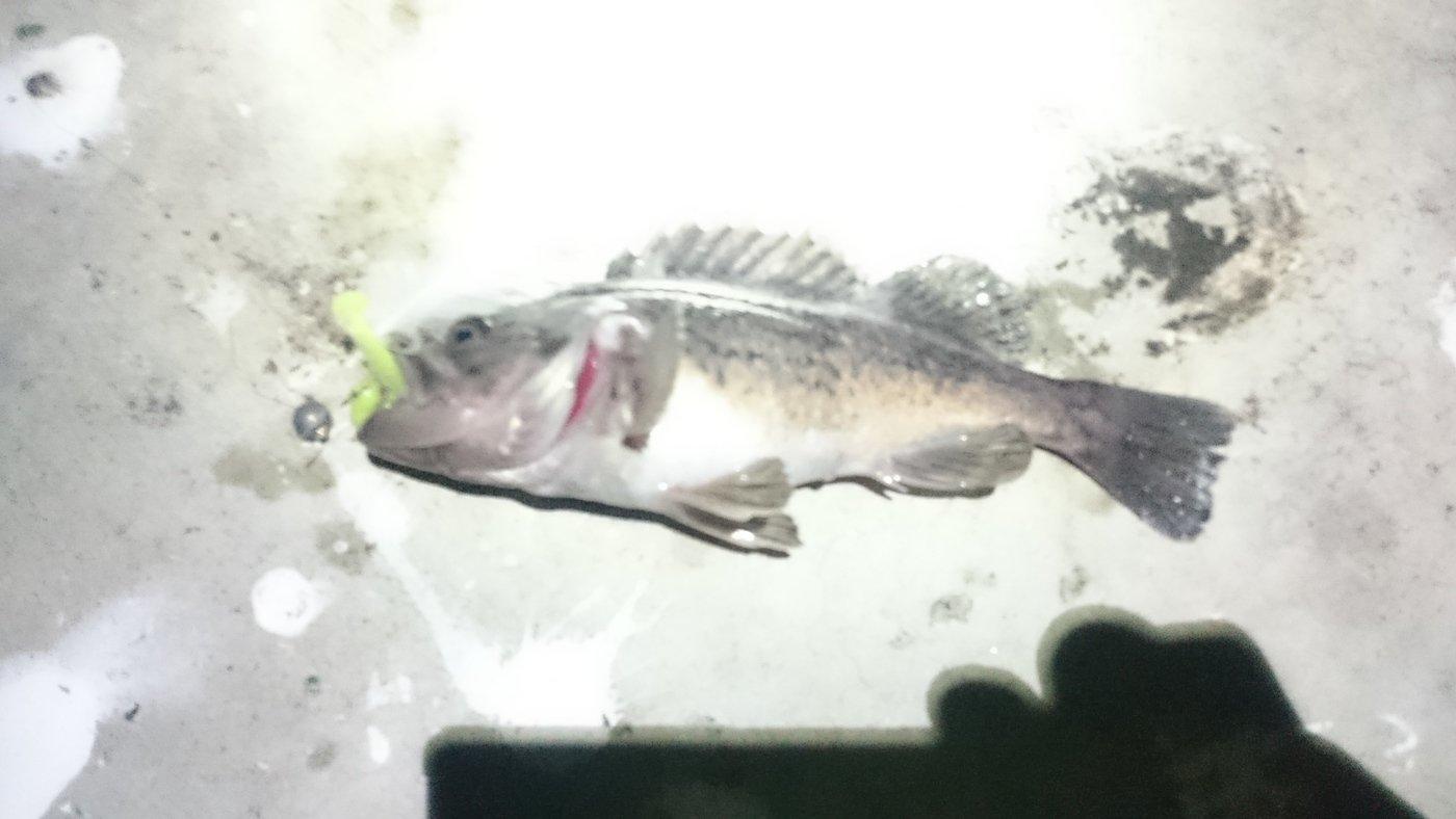 ワームテールさんの投稿画像,写っている魚はクロソイ