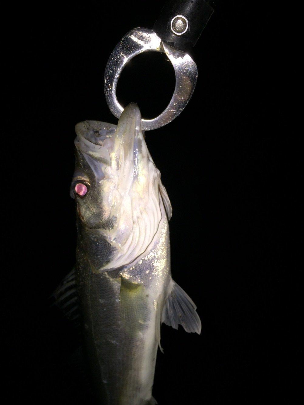 ゆしぴさんの投稿画像,写っている魚はスズキ