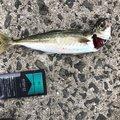 小瀬良克祐さんの長崎県東彼杵郡での釣果写真