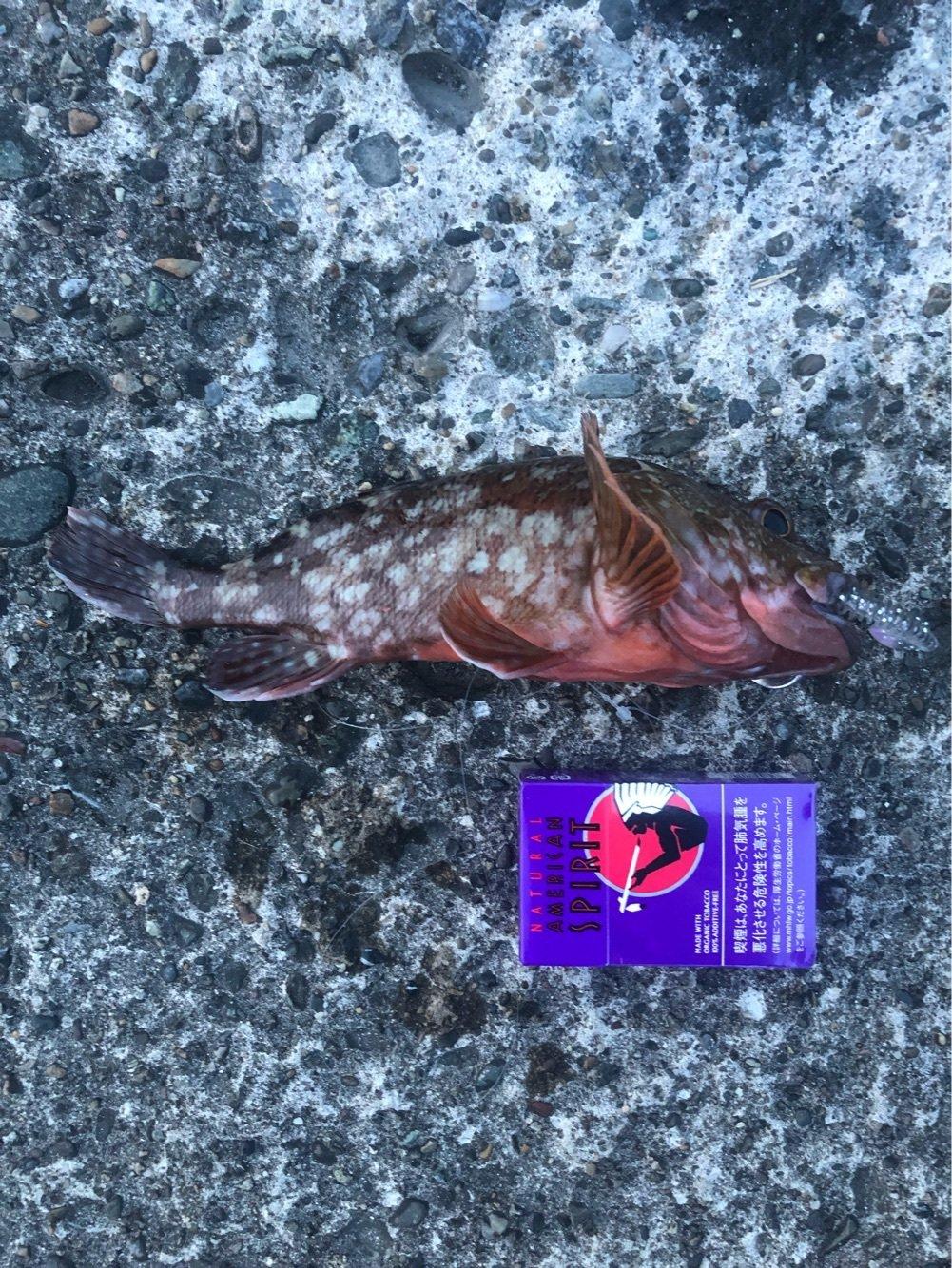 正太郎さんの投稿画像,写っている魚はカサゴ