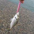 はじめちゃんさんの新潟県西蒲原郡での釣果写真