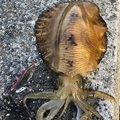ひろさんの山口県長門市でのアオリイカの釣果写真