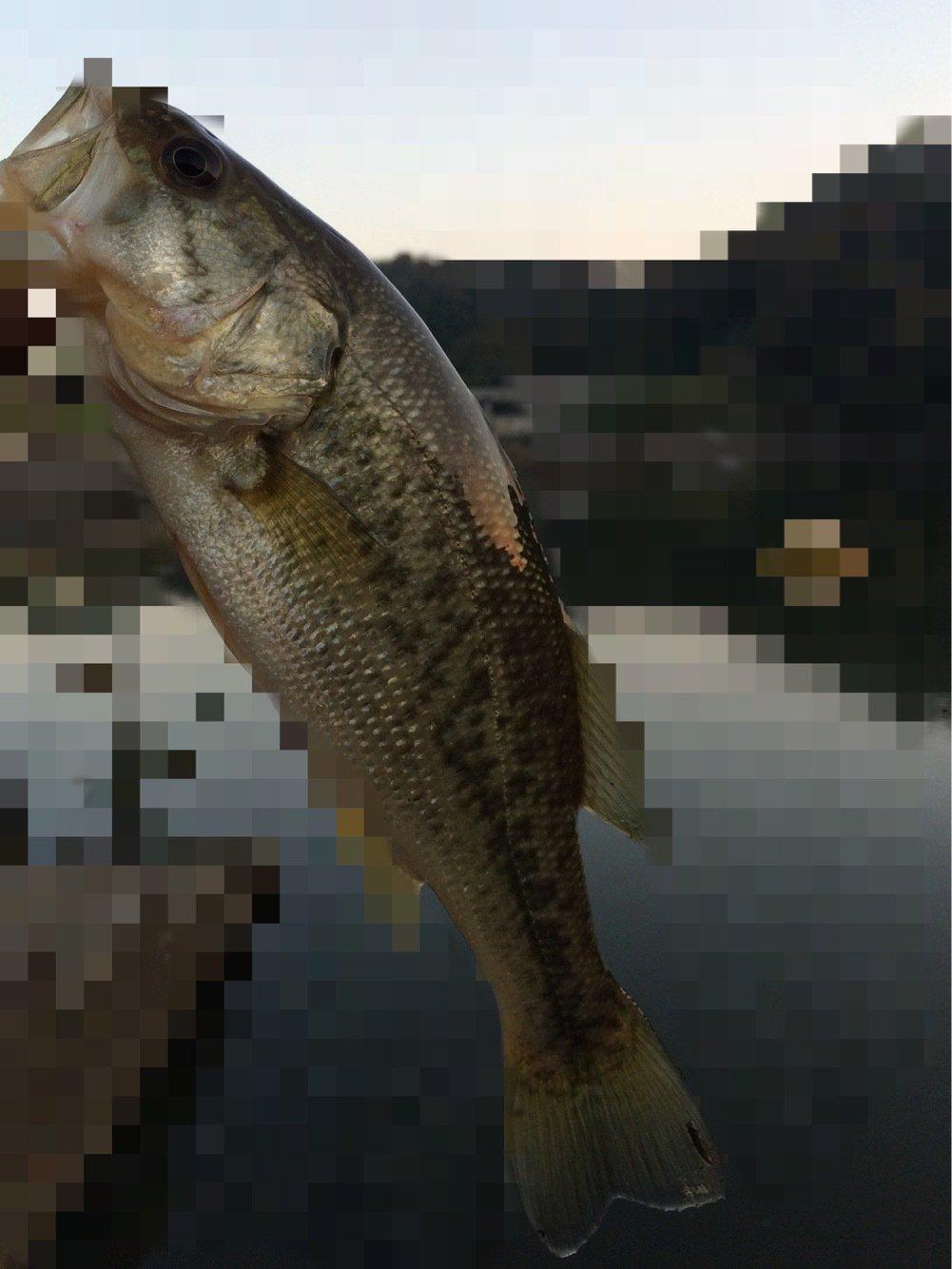 MAKAさんの投稿画像,写っている魚はブラックバス
