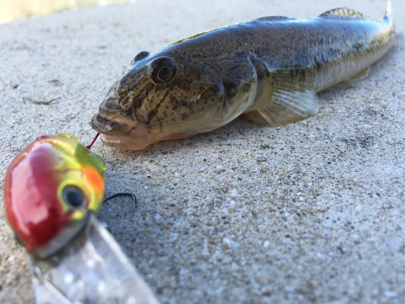 ひょーどるさんの投稿画像,写っている魚はマハゼ