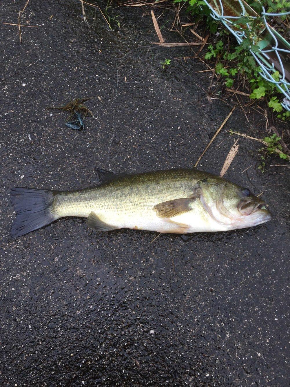 モジーさんの投稿画像,写っている魚はブラックバス