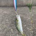 seyちゃんさんの大阪府岸和田市での釣果写真