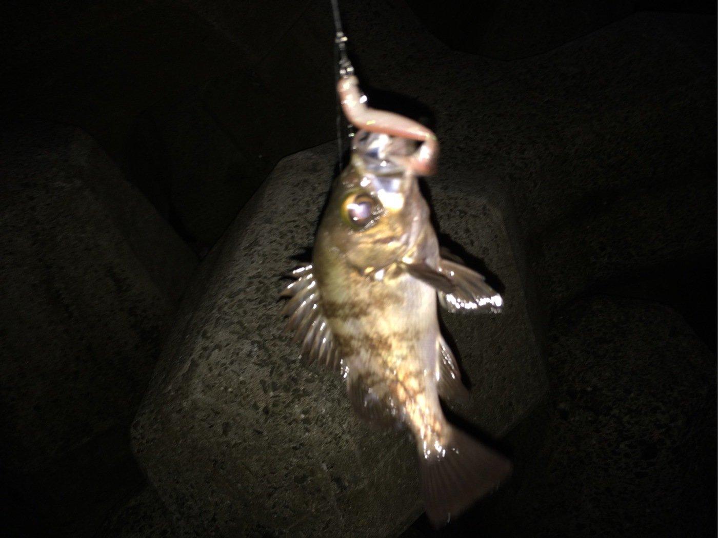 AKIRAさんの投稿画像,写っている魚はアカメバル