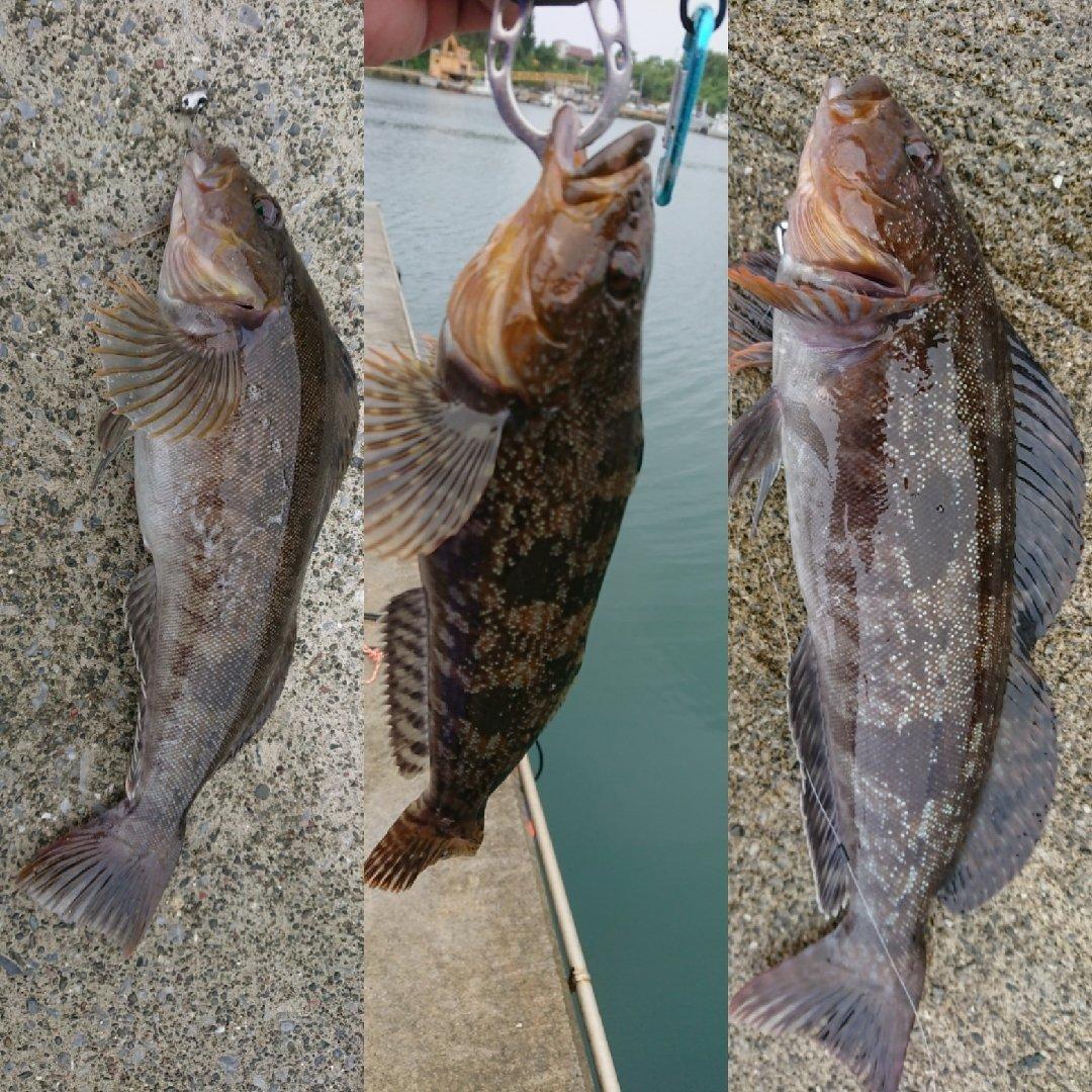 新しいフォルダさんの投稿画像,写っている魚はアイナメ