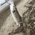 りーチョスさんの秋田県秋田市での釣果写真