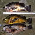 ジーン さんの千葉県安房郡での釣果写真