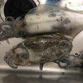 Cuttleさんのコウイカの釣果写真