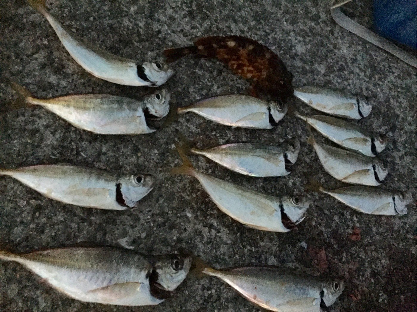 ったかのりさんの投稿画像,写っている魚はアジ