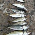 GOGOさんの青森県西津軽郡での釣果写真
