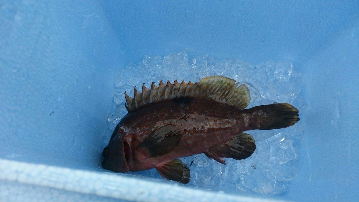 TYさんの投稿画像,写っている魚はキジハタ